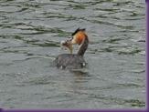 2011_09_08_Wasservogel